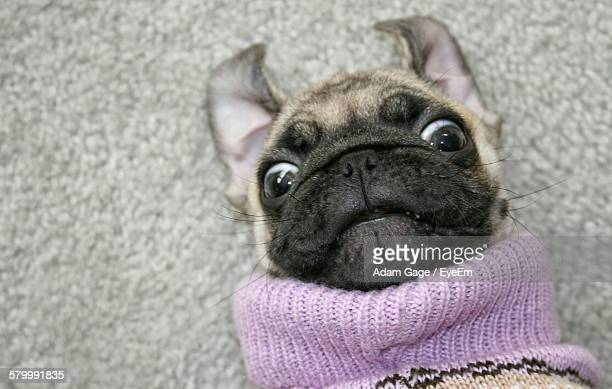 Close-Up Portrait Of Pug With Sweater Against Wall