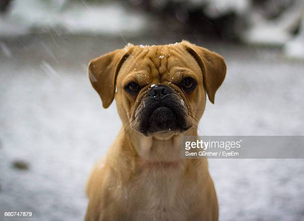 close-up portrait of puggle during relaxing on field during snowfall - puggle stockfoto's en -beelden
