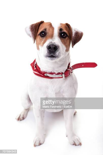 close-up portrait of puppy against white background - jack russell terrier stock pictures, royalty-free photos & images
