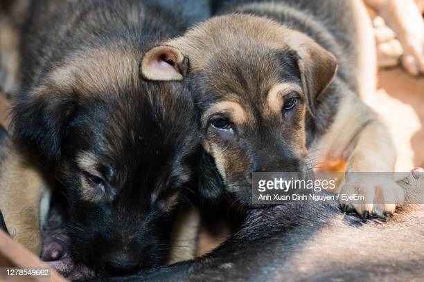 close-up portrait of puppy - german shepherd stock pictures, royalty-free photos & images