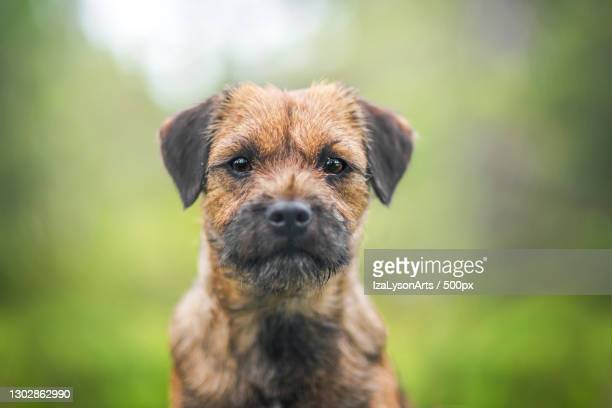 close-up portrait of puppy - border terrier stock pictures, royalty-free photos & images