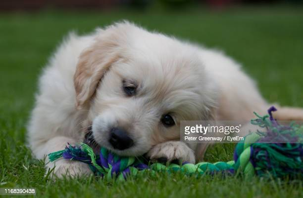 close-up portrait of puppy relaxing on grass - bicester village stock pictures, royalty-free photos & images