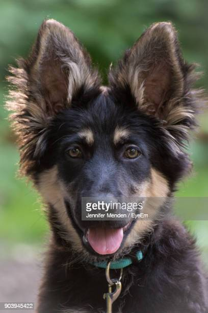 close-up portrait of puppy sticking out tongue outdoors - pastore tedesco foto e immagini stock