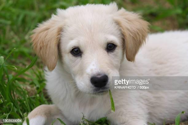 close-up portrait of puppy,italia,italy - pastore maremmano foto e immagini stock