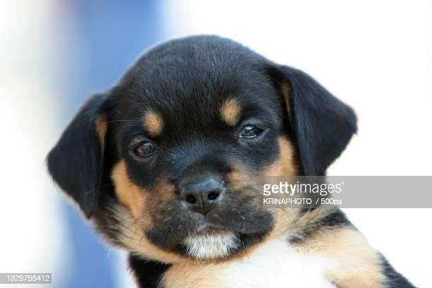 close-up portrait of puppy,italy - pastore maremmano foto e immagini stock