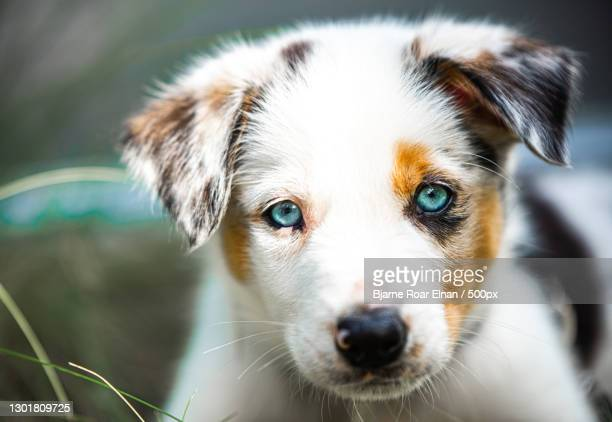 close-up portrait of purebred australian shepherd - australian shepherd puppies stock pictures, royalty-free photos & images