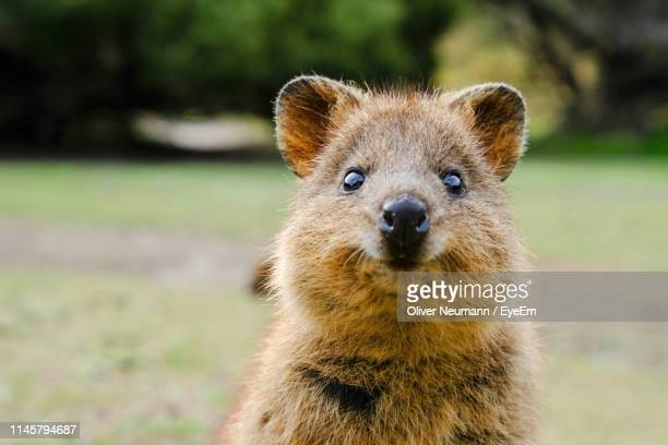 Close-Up Portrait Of Quokka On Field