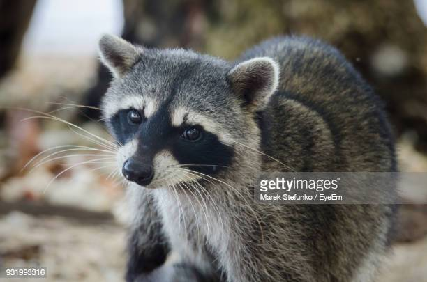 close-up portrait of raccoon on field - marek stefunko stock pictures, royalty-free photos & images