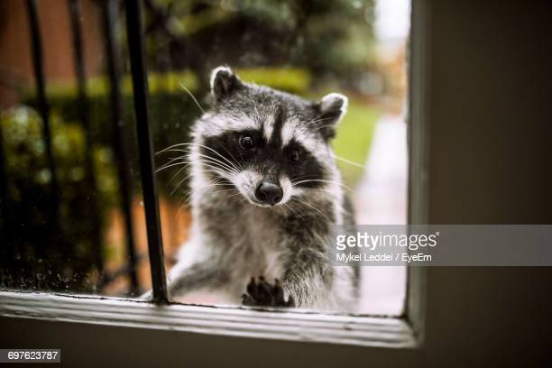 close-up portrait of raccoon - raccoon stock pictures, royalty-free photos & images