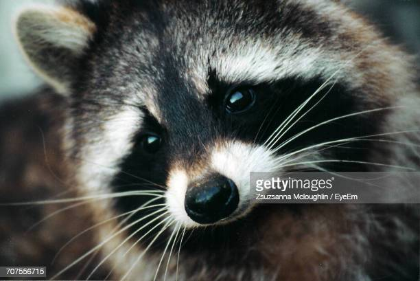 Close-Up Portrait Of Raccoon