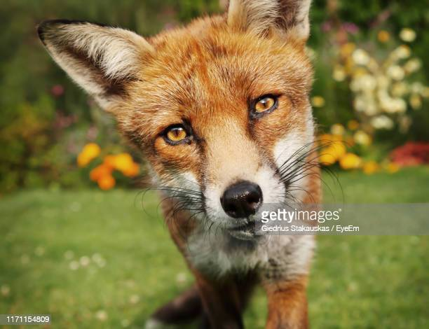 close-up portrait of red fox standing on grassy land - volpe rossa foto e immagini stock
