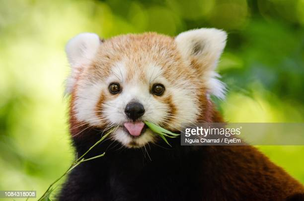 close-up portrait of red panda - red panda stock pictures, royalty-free photos & images