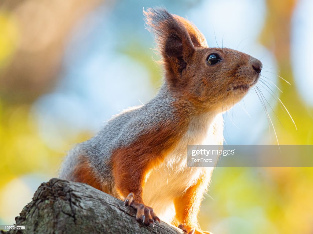 Close-up portrait of red squirrel perched on the branch : Stock Photo