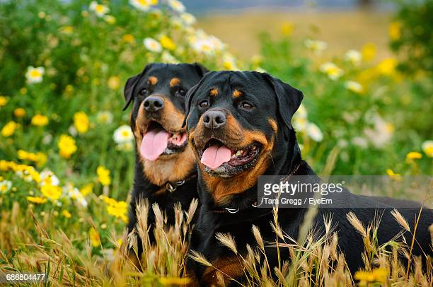 Rottweiler Stock Photos And Pictures