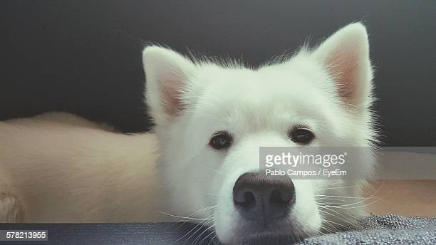 Close-Up Portrait Of Samoyed Relaxing At Home