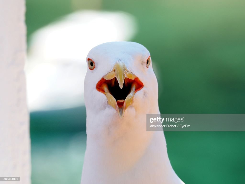 Close-Up Portrait Of Seagull Perching Outdoors : Stock Photo