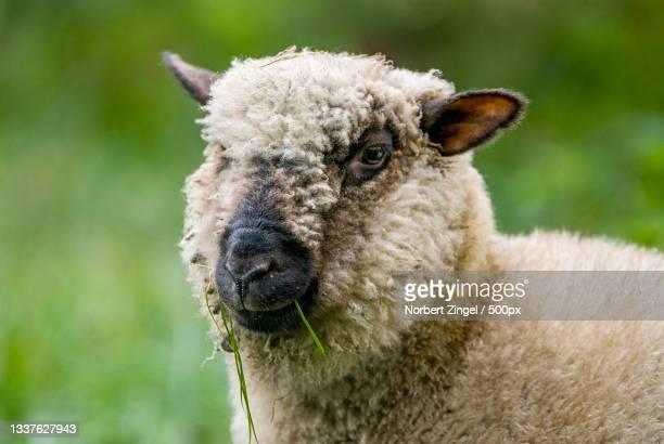 close-up portrait of sheep,bad oldesloe,germany - norbert zingel stock-fotos und bilder