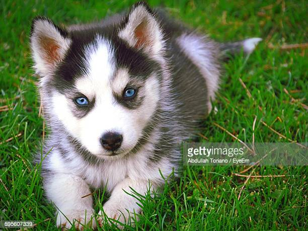 Close-Up Portrait Of Siberian Husky Relaxing On Grassy Field