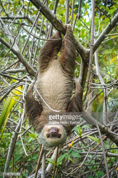 close-up portrait of sloth hanging upside down on branch in forest - xenarthra stock pictures, royalty-free photos & images