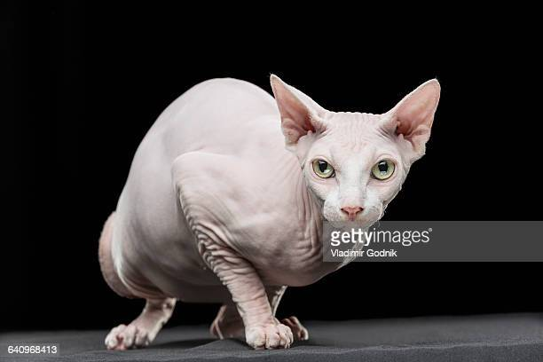 close-up portrait of sphynx hairless cat looking away against black background - sphynx hairless cat stock photos and pictures