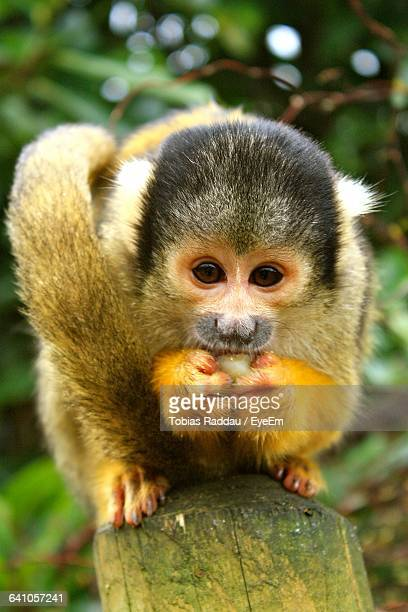 Close-Up Portrait Of Squirrel Monkey On Tree Stump