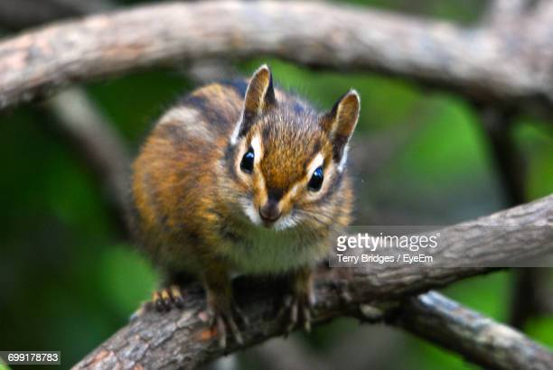 Close-Up Portrait Of Squirrel On Branch
