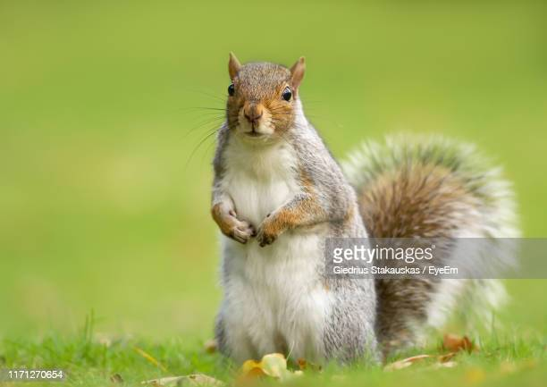 close-up portrait of squirrel on land - squirrel stock pictures, royalty-free photos & images