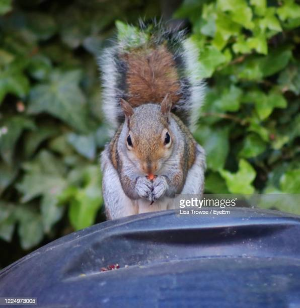 close-up portrait of squirrel - esher stock pictures, royalty-free photos & images