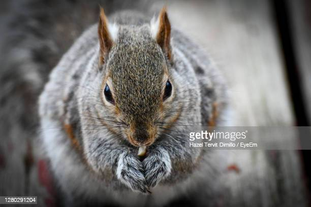 close-up portrait of squirrel - squirrel stock pictures, royalty-free photos & images