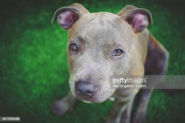 close-up portrait of staffordshire bull terrier on grassy field - staffordshire bull terrier stock pictures, royalty-free photos & images