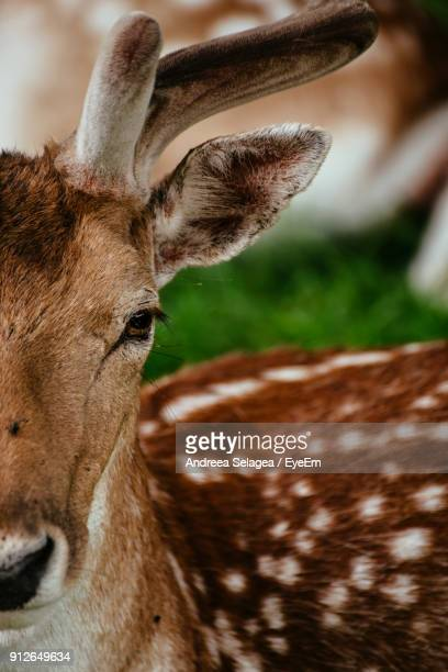 Close-Up Portrait Of Stag