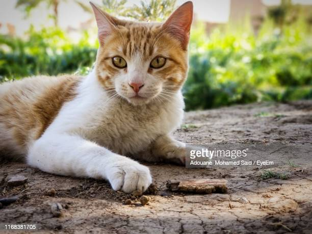 close-up portrait of tabby cat relaxing outdoors - トラ猫 ストックフォトと画像