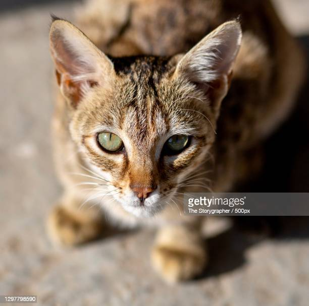 close-up portrait of tabby cat,solan,himachal pradesh,india - the storygrapher bildbanksfoton och bilder
