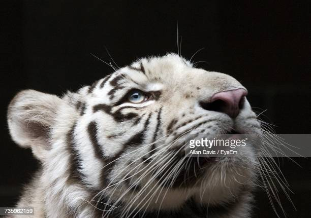 close-up portrait of tger against black background - white tiger stock photos and pictures