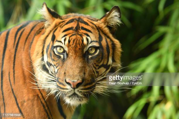 close-up portrait of tiger outdoors - animal whisker stock pictures, royalty-free photos & images