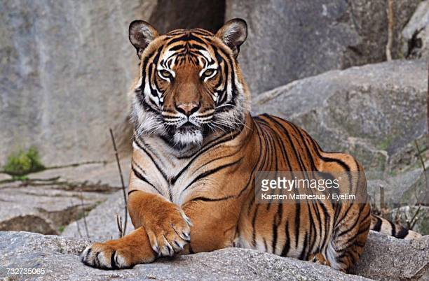 close-up portrait of tiger outdoors - tiger stock pictures, royalty-free photos & images