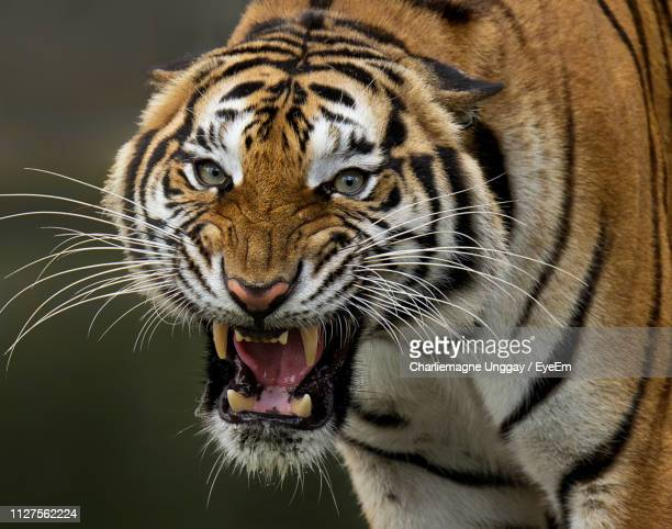 close-up portrait of tiger roaring - tiger stock pictures, royalty-free photos & images