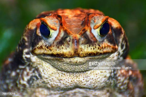 Close-Up Portrait Of Toad