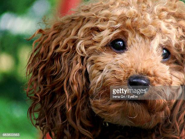 Close-Up Portrait Of Toy Poodle