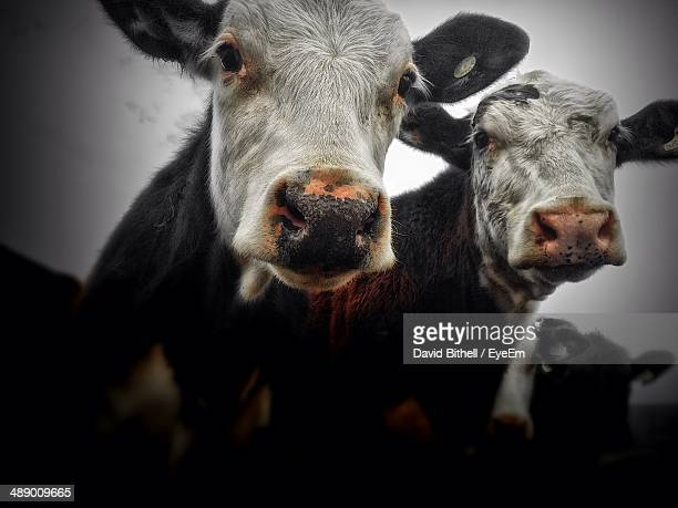 Close-up portrait of two cows