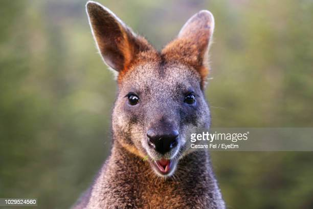 close-up portrait of wallaby - kangaroo stock pictures, royalty-free photos & images