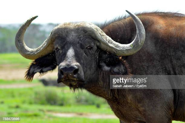 Close-Up Portrait Of Water Buffalo