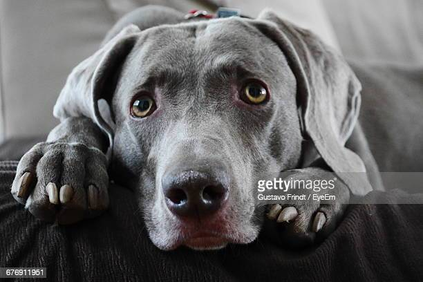 Close-Up Portrait Of Weimaraner Relaxing At Home