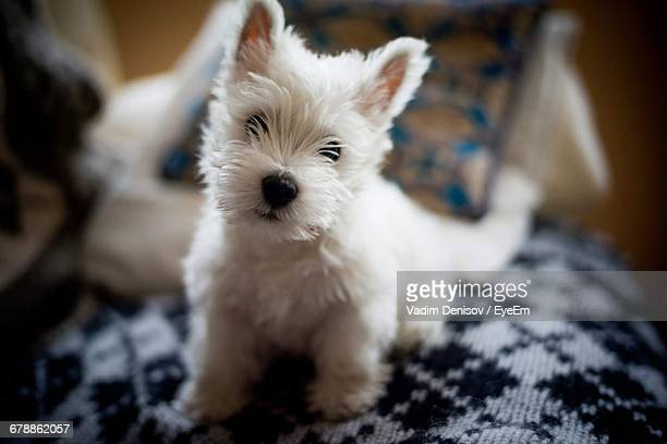 close-up portrait of west highland white terrier on seat at home - west highland white terrier stock photos and pictures