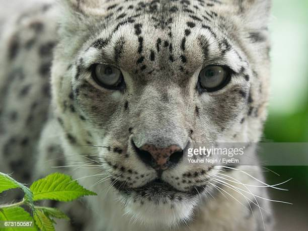 Close-Up Portrait Of White Bengal Tiger