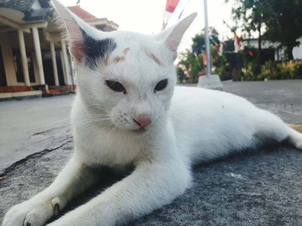 Close-Up Portrait Of White Cat Lying Down