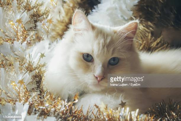 close-up portrait of white cat - christmas kittens stock pictures, royalty-free photos & images