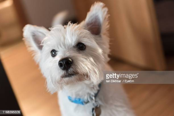 close-up portrait of white dog at home - west highland white terrier stock photos and pictures