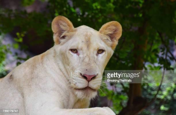 Close-Up Portrait Of White Lioness