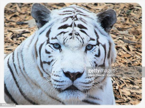 Close-Up Portrait Of White Tiger In Forest